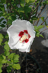 Red Heart Rose Of Sharon (Hibiscus syriacus 'Red Heart') at Longfellow's Greenhouses
