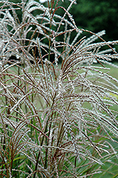 Huron Sunrise Maiden Grass (Miscanthus sinensis 'Huron Sunrise') at Longfellow's Greenhouses