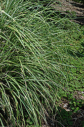 Little Zebra Dwarf Maiden Grass (Miscanthus sinensis 'Little Zebra') at Longfellow's Greenhouses