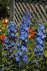 Cobalt Dreams Larkspur (Delphinium 'Cobalt Dreams') at Longfellow's Greenhouses