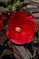 Midnight Marvel Hibiscus (Hibiscus 'Midnight Marvel') at Longfellow's Greenhouses