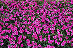 Bounce™ Pink Flame Impatiens (Impatiens 'Balboufink') at Longfellow's Greenhouses
