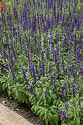 Victoria Blue Salvia (Salvia farinacea 'Victoria Blue') at Longfellow's Greenhouses