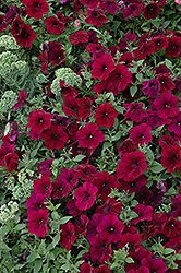 Easy Wave Burgundy Velour Petunia (Petunia 'Easy Wave Burgundy Velour') at Longfellow's Greenhouses