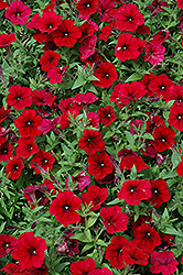 Easy Wave Red Velour Petunia (Petunia 'Easy Wave Red Velour') at Longfellow's Greenhouses
