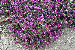 Clear Crystal Purple Shades Sweet Alyssum (Lobularia maritima 'Clear Crystal Purple Shades') at Longfellow's Greenhouses