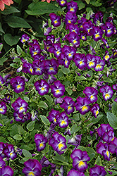 Halo Violet Pansy (Viola cornuta 'Halo Violet') at Longfellow's Greenhouses