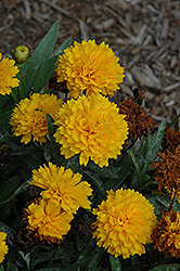Solanna Golden Sphere Tickseed (Coreopsis grandiflora 'Solanna Golden Sphere') at Longfellow's Greenhouses