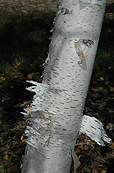 Paper Birch (Betula papyrifera) at Longfellow's Greenhouses