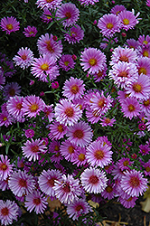 Purple Dome Aster (Aster novae-angliae 'Purple Dome') at Longfellow's Greenhouses