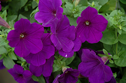 Supertunia® Royal Velvet® Petunia (Petunia 'Supertunia Royal Velvet') at Longfellow's Greenhouses