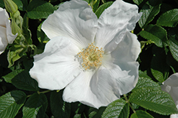 White Rugosa Rose (Rosa rugosa 'Alba') at Longfellow's Greenhouses