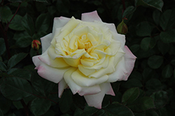 Music Box Rose (Rosa 'BAIbox') at Longfellow's Greenhouses