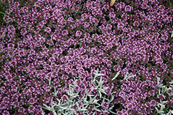 Pink Chintz Creeping Thyme (Thymus praecox 'Pink Chintz') at Longfellow's Greenhouses
