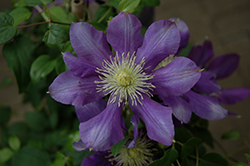 Chevalier Clematis (Clematis 'Evipo040') at Longfellow's Greenhouses
