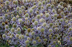 Blue Glitter Sea Holly (Eryngium planum 'Blue Glitter') at Longfellow's Greenhouses