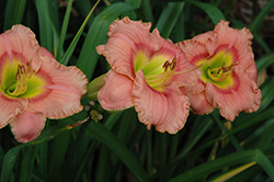 Elegant Candy Daylily (Hemerocallis 'Elegant Candy') at Longfellow's Greenhouses