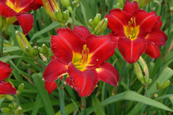 Chicago Apache Daylily (Hemerocallis 'Chicago Apache') at Longfellow's Greenhouses