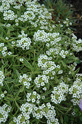 Frosty Knight Alyssum (Lobularia 'Frosty Knight') at Longfellow's Greenhouses