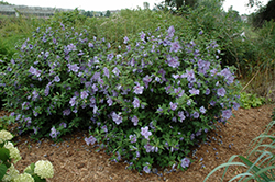 Blue Chiffon® Rose of Sharon (Hibiscus syriacus 'Notwoodthree') at Longfellow's Greenhouses