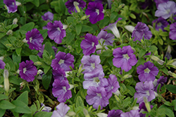Supertunia® Morning Glory Charm Petunia (Petunia 'Supertunia Morning Glory Charm') at Longfellow's Greenhouses