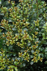 Compact Inkberry Holly (Ilex glabra 'Compacta') at Longfellow's Greenhouses