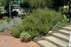 Rosemary (Rosmarinus officinalis) at Longfellow's Greenhouses
