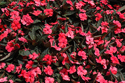 SunPatiens® Compact Deep Rose New Guinea Impatiens (Impatiens 'SunPatiens Compact Deep Rose') at Longfellow's Greenhouses