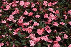 SunPatiens® Compact Coral Pink New Guinea Impatiens (Impatiens 'SunPatiens Compact Coral Pink') at Longfellow's Greenhouses
