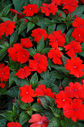 Divine™ Orange New Guinea Impatiens (Impatiens hawkeri 'Divine Orange') at Longfellow's Greenhouses