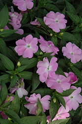 Divine™ Blue Pearl New Guinea Impatiens (Impatiens hawkeri 'Divine Blue Pearl') at Longfellow's Greenhouses