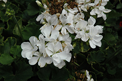 Rocky Mountain White Geranium (Pelargonium 'Rocky Mountain White') at Longfellow's Greenhouses