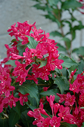 Sonic Bloom Red® Reblooming Weigela (Weigela florida 'Verweig 6') at Longfellow's Greenhouses