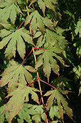 North Wind Japanese Maple (Acer 'IsINW') at Longfellow's Greenhouses