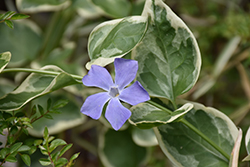 Variegated Periwinkle (Vinca major 'Variegata') at Longfellow's Greenhouses