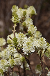 Mt. Airy Fothergilla (Fothergilla major 'Mt. Airy') at Longfellow's Greenhouses