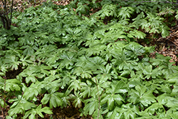Mayapple (Podophyllum peltatum) at Longfellow's Greenhouses