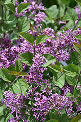 Bloomerang® Dark Purple Lilac (Syringa 'SMSJBP7') at Longfellow's Greenhouses