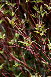 Bailey's Red Twig Dogwood (Cornus sericea 'Baileyi') at Longfellow's Greenhouses