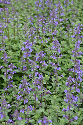 Blue Wonder Catmint (Nepeta x faassenii 'Blue Wonder') at Longfellow's Greenhouses