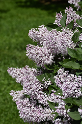 Miss Kim Lilac (Syringa patula 'Miss Kim') at Longfellow's Greenhouses