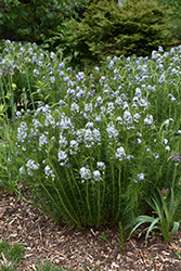 Narrow-Leaf Blue Star (Amsonia hubrichtii) at Longfellow's Greenhouses