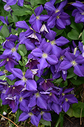Jackmanii Clematis (Clematis x jackmanii) at Longfellow's Greenhouses