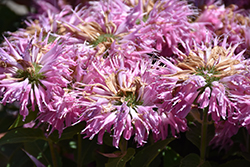Grand Mum Beebalm (Monarda 'MCmum') at Longfellow's Greenhouses