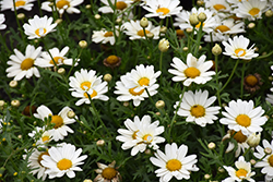 Pure White Butterfly™ Marguerite Daisy (Argyranthemum frutescens 'G14420') at Longfellow's Greenhouses