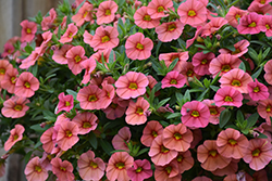 Superbells® Coralina Calibrachoa (Calibrachoa 'Superbells Coralina') at Longfellow's Greenhouses