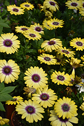 Blue Eyed Beauty African Daisy (Osteospermum ecklonis 'Balostlueye') at Longfellow's Greenhouses