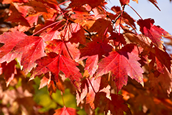 Sun Valley Red Maple (Acer rubrum 'Sun Valley') at Longfellow's Greenhouses