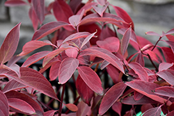 Arctic Fire® Red Twig Dogwood (Cornus sericea 'Farrow') at Longfellow's Greenhouses