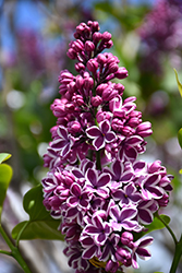 Sensation Lilac (Syringa vulgaris 'Sensation') at Longfellow's Greenhouses